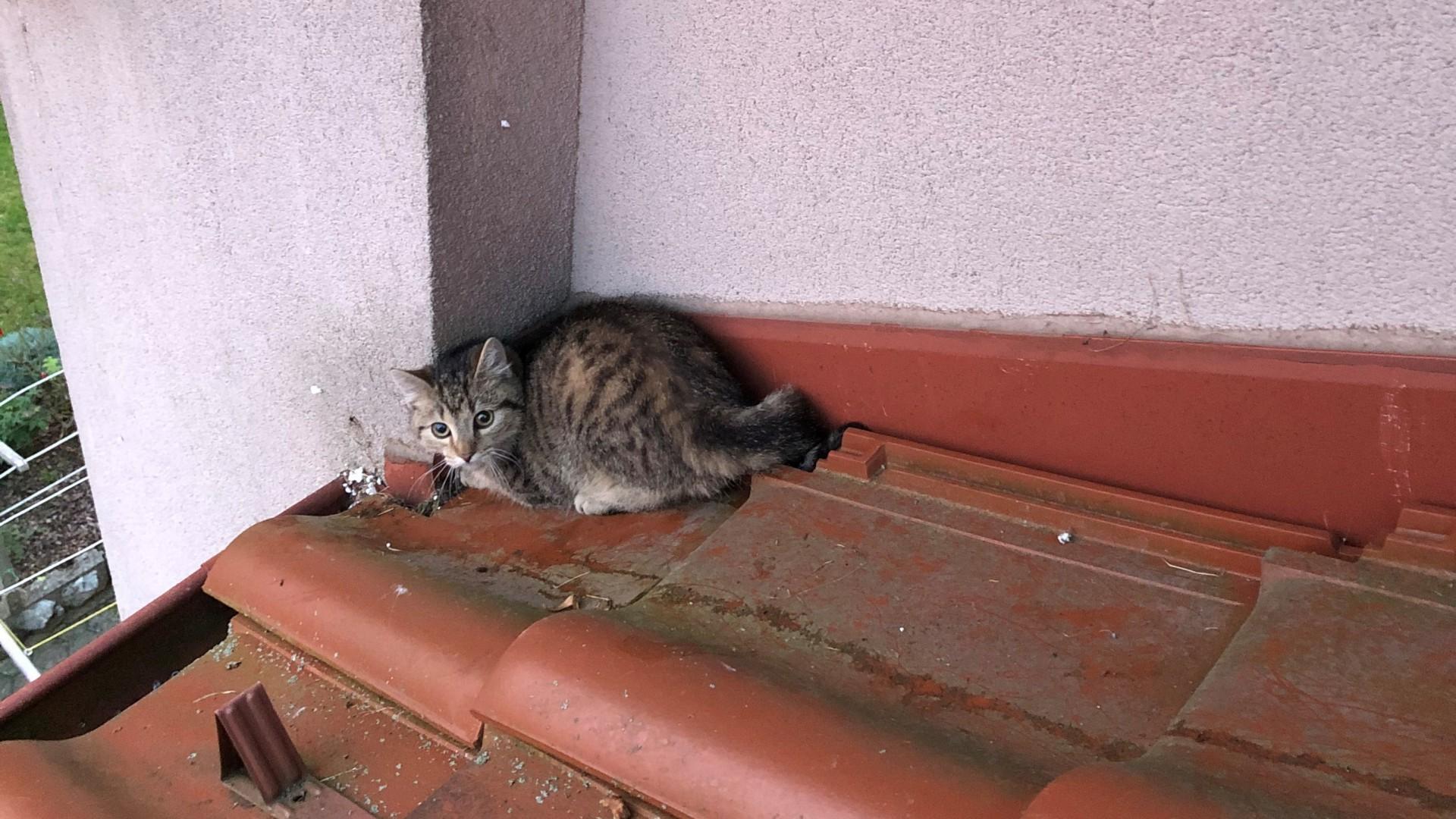Reševanje levčka (mucka) iz strehe